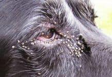 Gnats dog