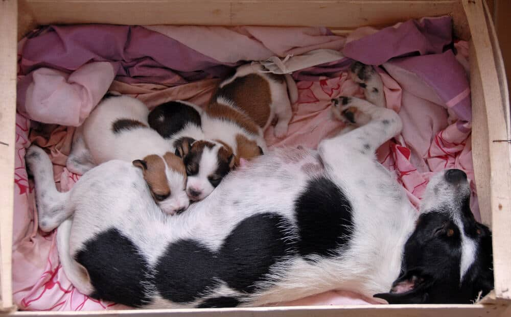 female purebred jack russel terrier and her very young puppies