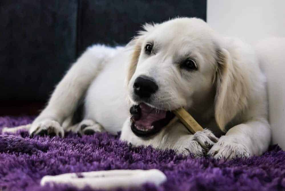 Golden retriever Puppy chewing on a bone on a purple rug