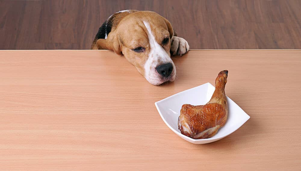 Hungry sad dog in front of dish on table and looking at piece of chicken