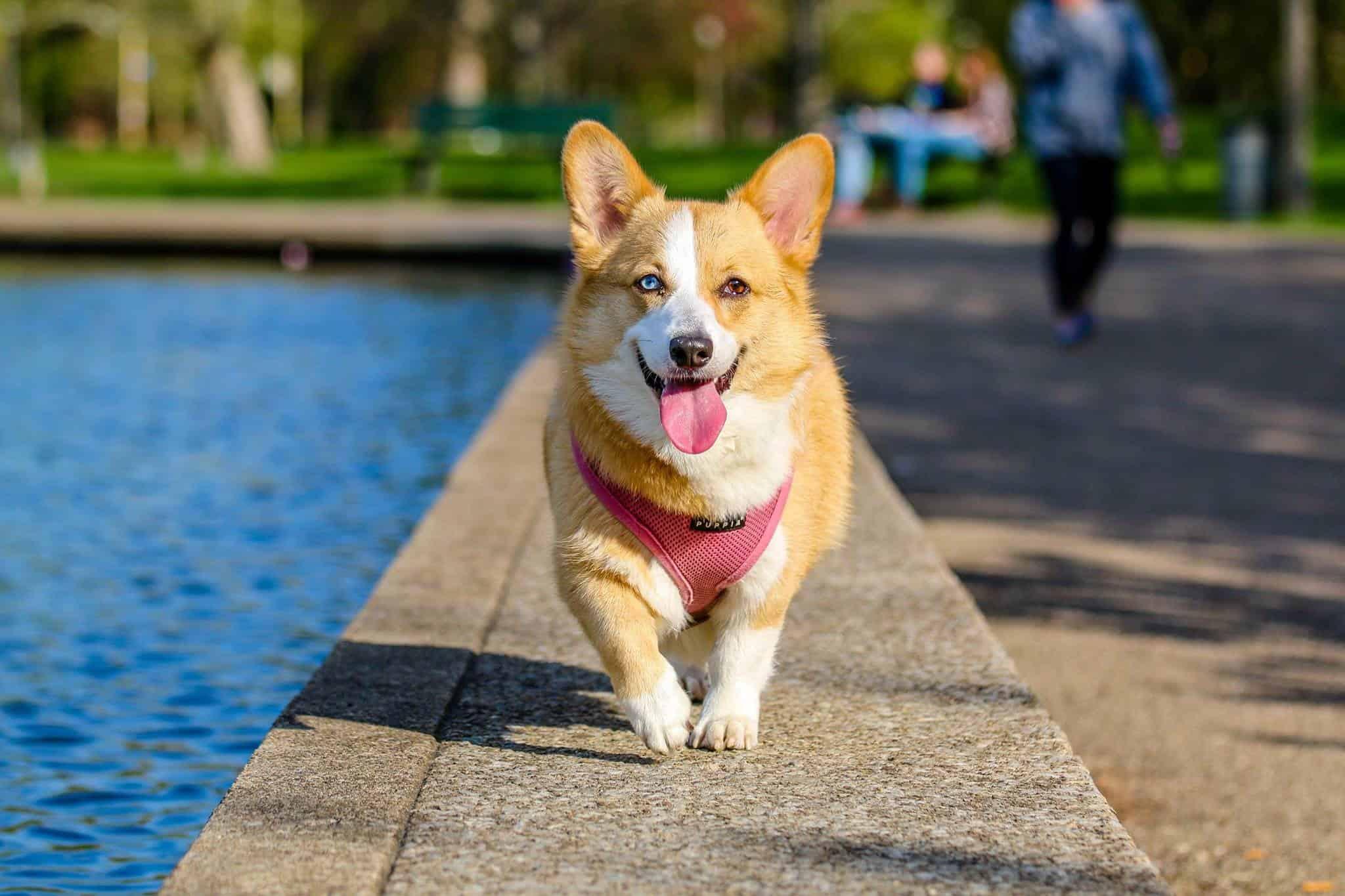 dog running while happily breathing