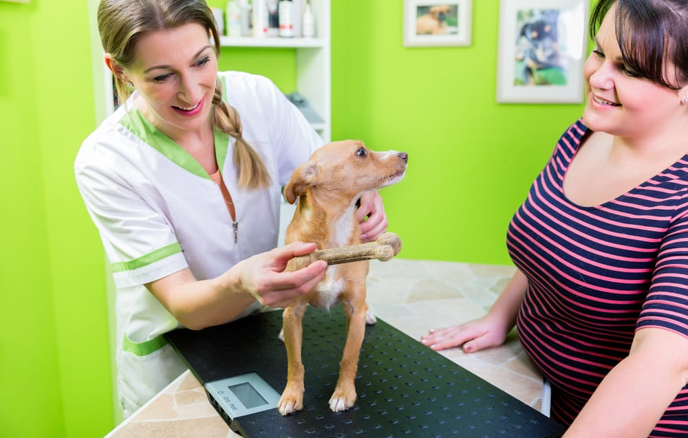 Dog at veterinarian check up for deworm