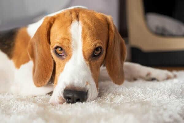 Beagle dog tired sleeps on a white carpet floor