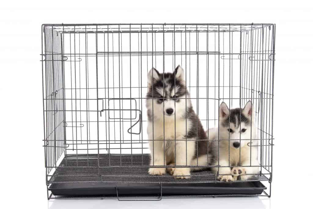 Cute siberian husky puppies in the cage on white background