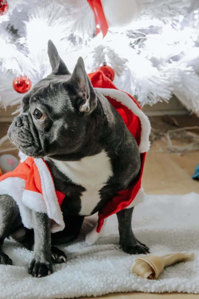 a dog wearing a costume