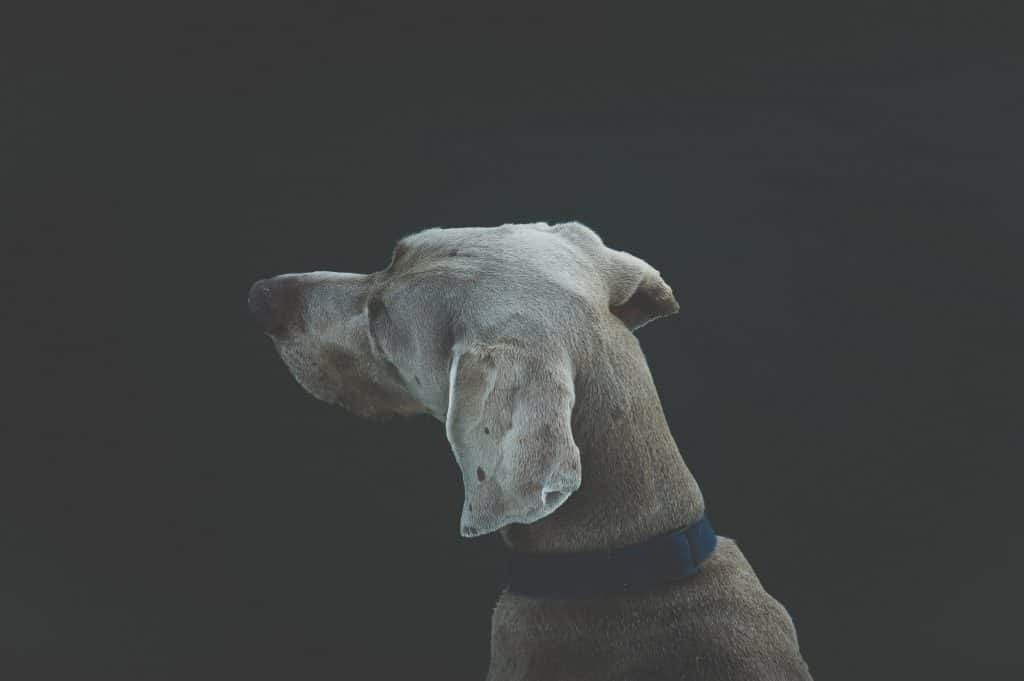 Weimaraner with his small dog collar