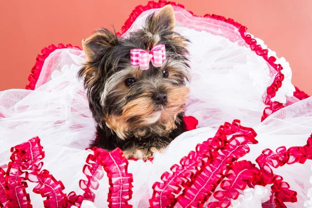 Yorkshire terrier with pink bow lying on red and white chiffon pillow