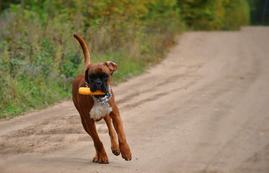 boxer dog eating a corn