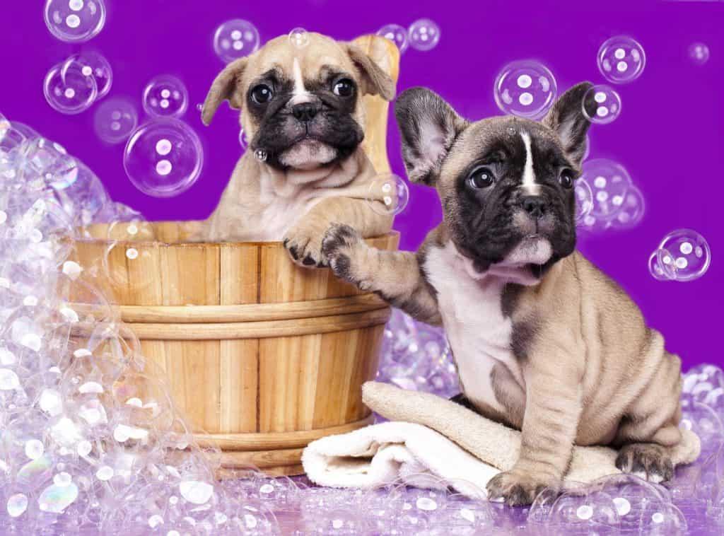 pugs happy taking a bath with a shampoo