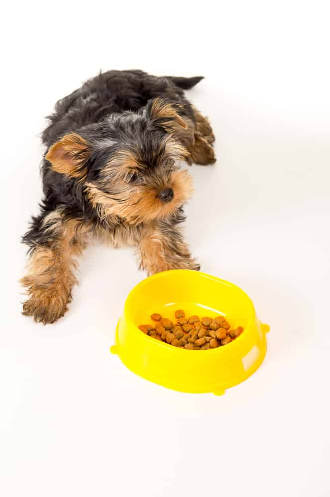 Yorkshire Terrier puppy sitting next to a bowl of feed