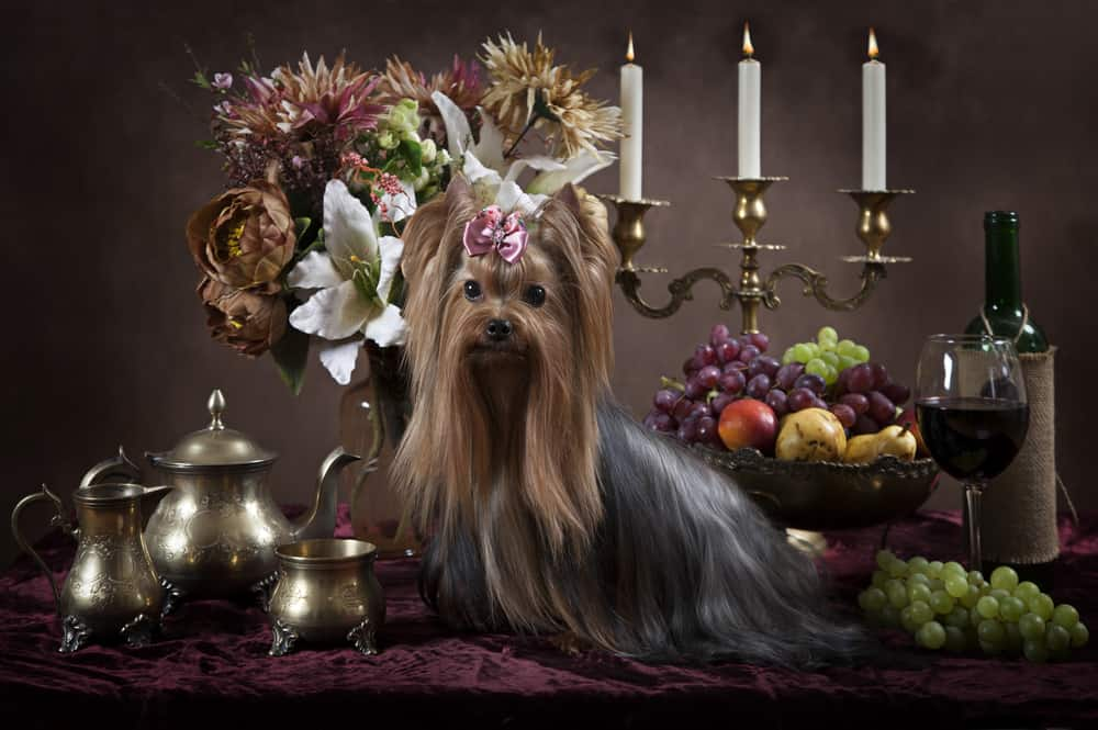 Yorkshire terrier dog with fruits on the back
