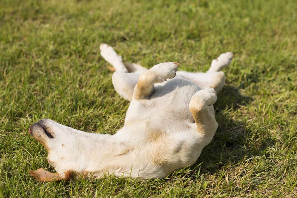 Dog rolling over in grass, enjoying sunny day in park
