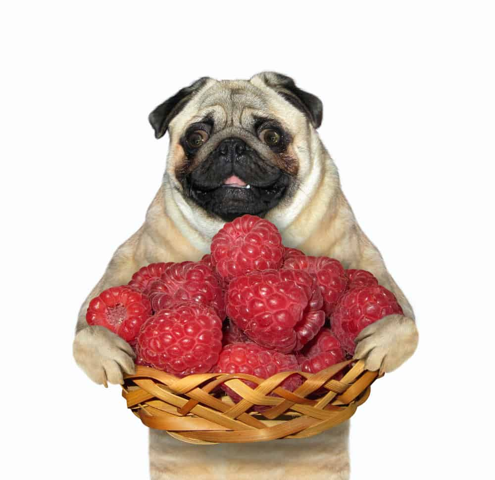 The pug dog is holding a wicker basket full of red ripe raspberries