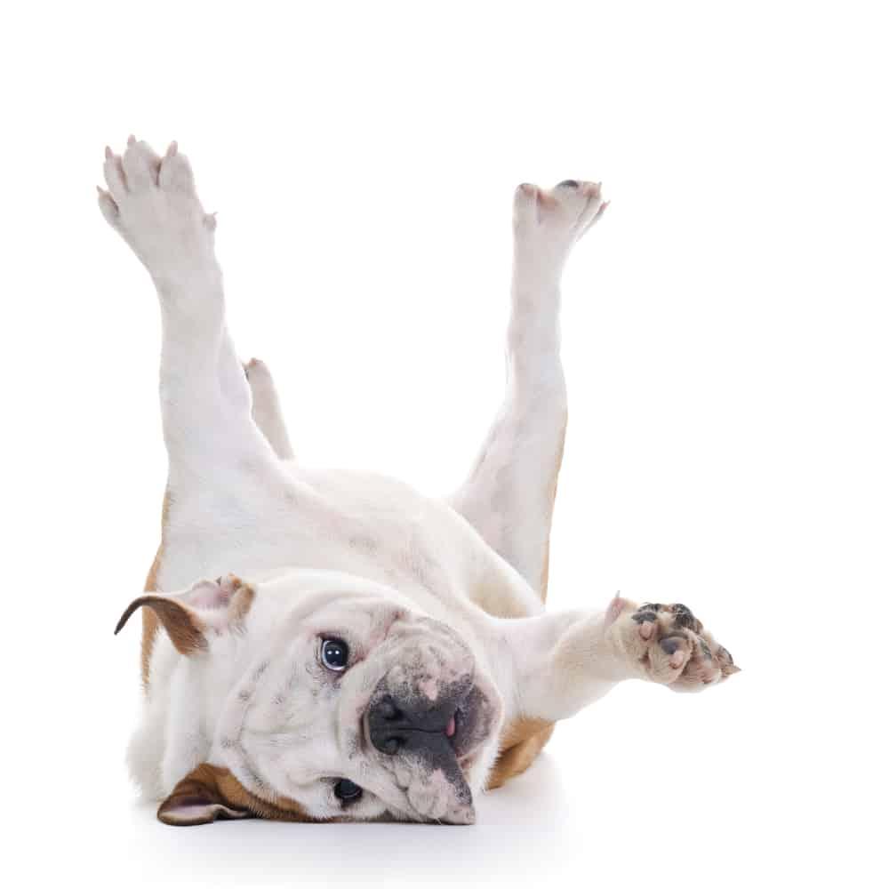 bulldog rolling over