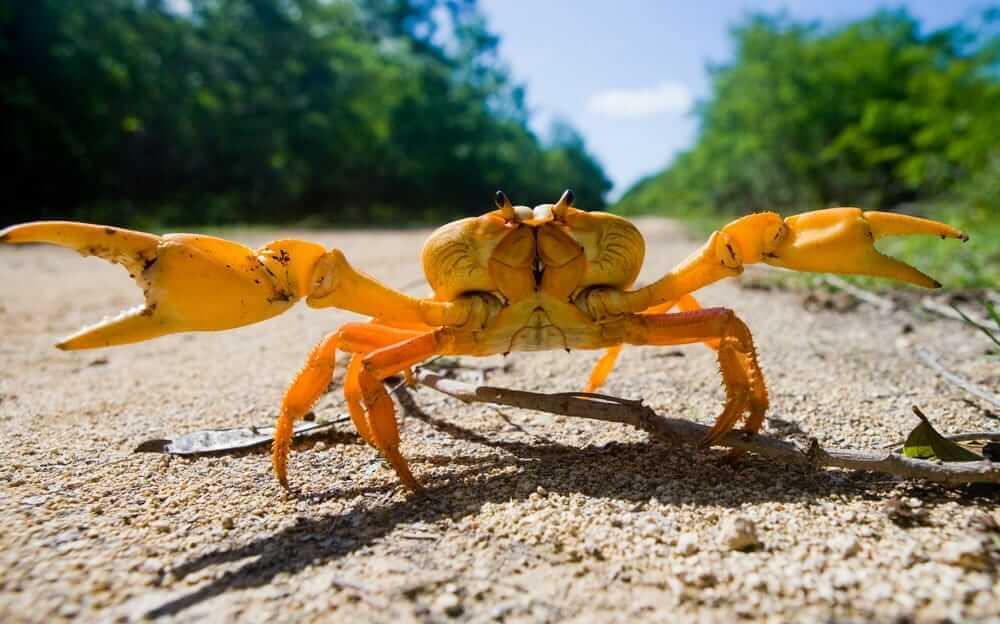 Yellow land crab close up